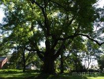 Strońsko. Jesion wyniosły - pomnik przyrody w parku podworskim. (fot. Marta Pabich-Makoska)