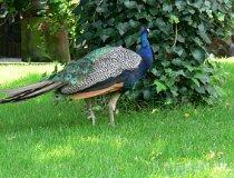 Paw w ogrodzie (fot. Daria Konieczna)