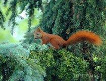 Wiewiórka (fot. Piotr Wojtaszek)
