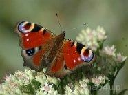 Grabno. Motyl na łące w Parku Krajobrazowym Międzyrzecza Warty i Widawki