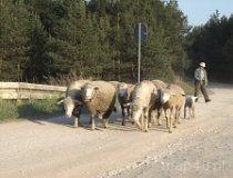 Bobrowniki. Wypas owiec. (fot. Marta Pabich)