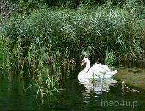 Łabądź na rzece (fot. Daria Konieczna)
