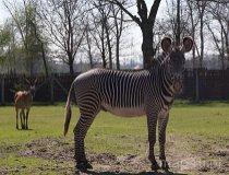 Borysew. Zoo Safari, zebra (fot. Zoo Safari)